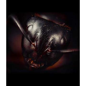 Giant Ant | Camponotus Herculeanus