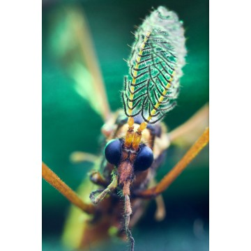 Crowned | Male Mosquito
